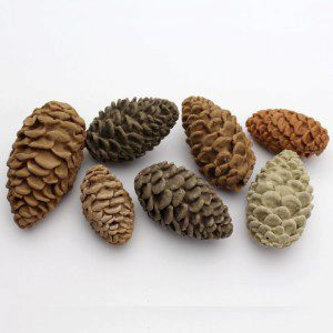 Katy Sue Mould Pine Cones by Nicholas Lodge