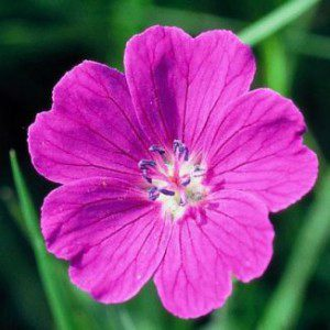 PME Meadow Cranesbill Cutter