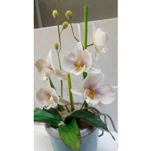 Zuckerblumenkurs - Moth-Orchideen-Stock