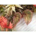 SK Leaf Veiner Begonia rex M