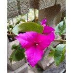 Blooms - Bougainvillea 3-teilig